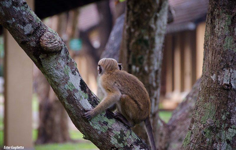 Sri Lanka, Perla