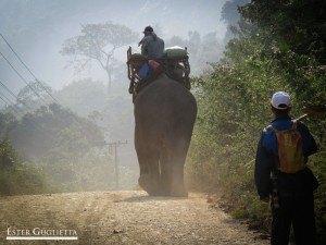 Elefantes de regreso a Luang Prabang