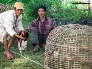 Pelea de gallos en Huei Thamo